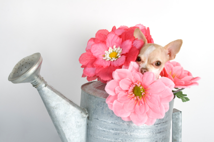 chihuaha in a watering can