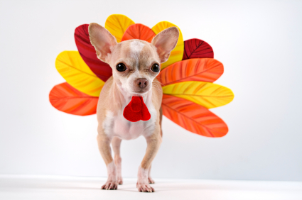 chihuahua dressed as a turkey