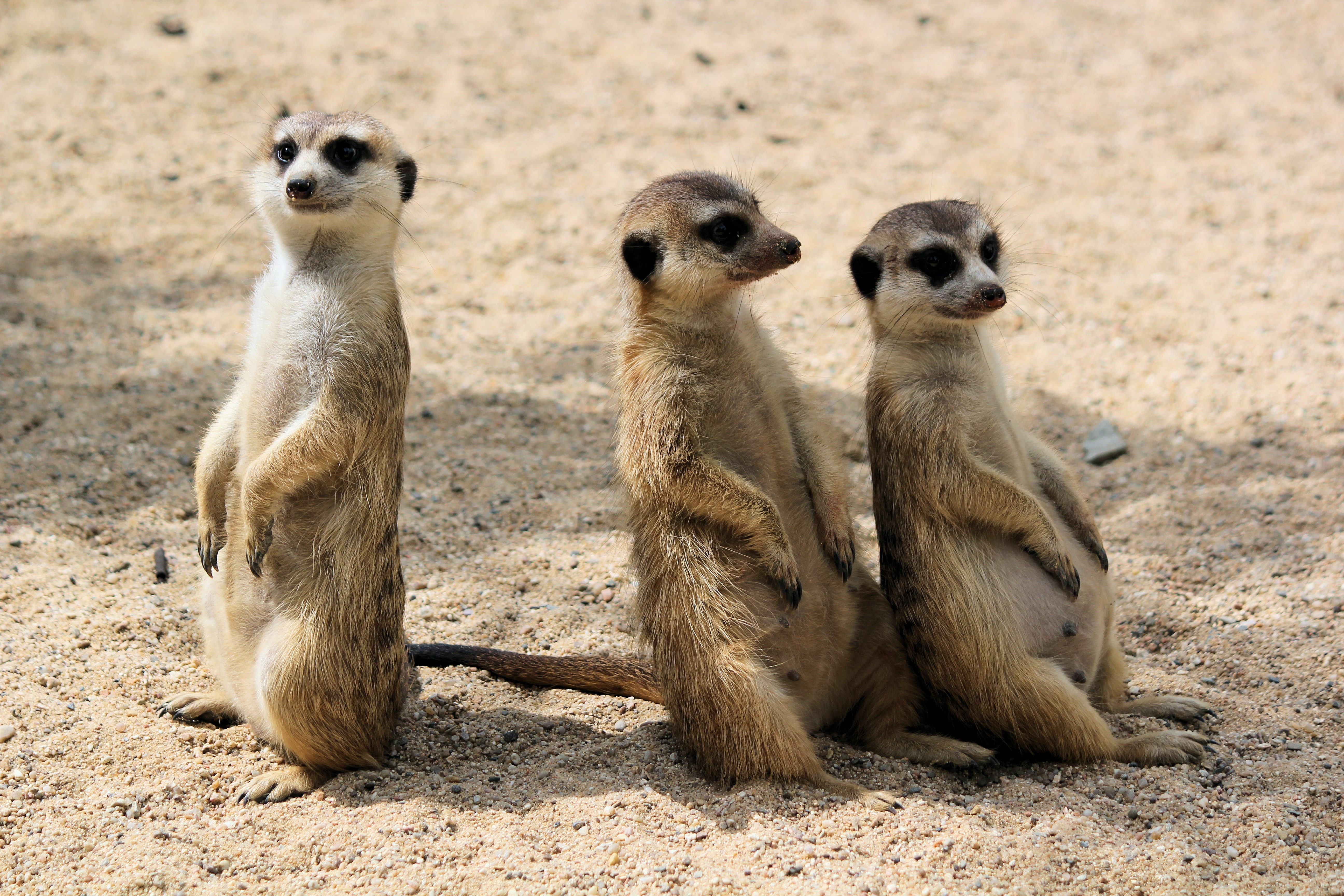 picture of three meerkats
