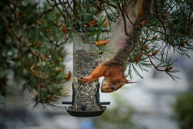 Photo of a squirrel in a bird feeder